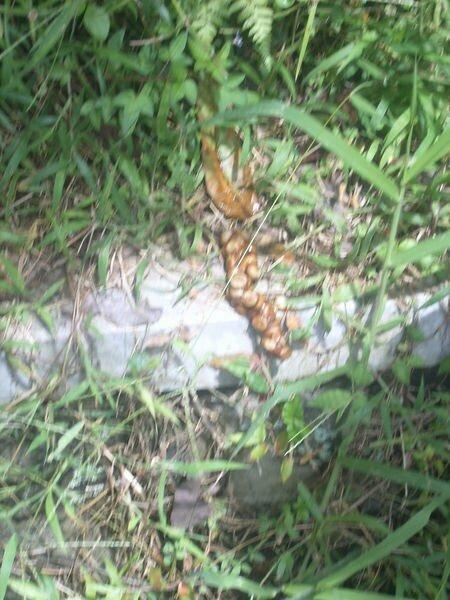Kopi Luwak yang sudah di keluarkan melalui kotoran