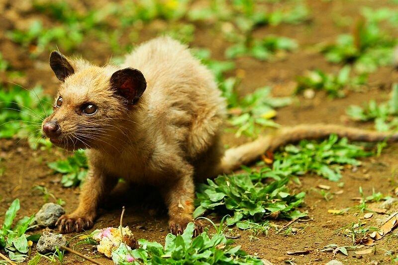Luwak Asia Penghasil Kopi Luwak