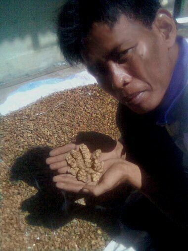 Indonesian farmer shows coffee beans already digested by Asian Palm Civet